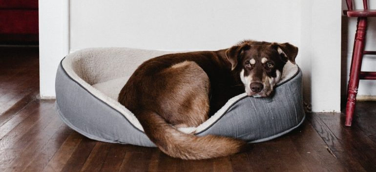 A dog resting in their bed